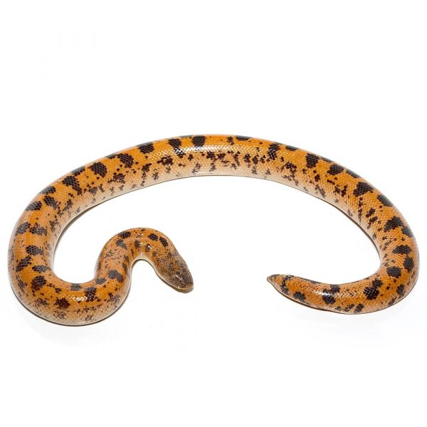 Buy High Gold Saharan Sand Boa