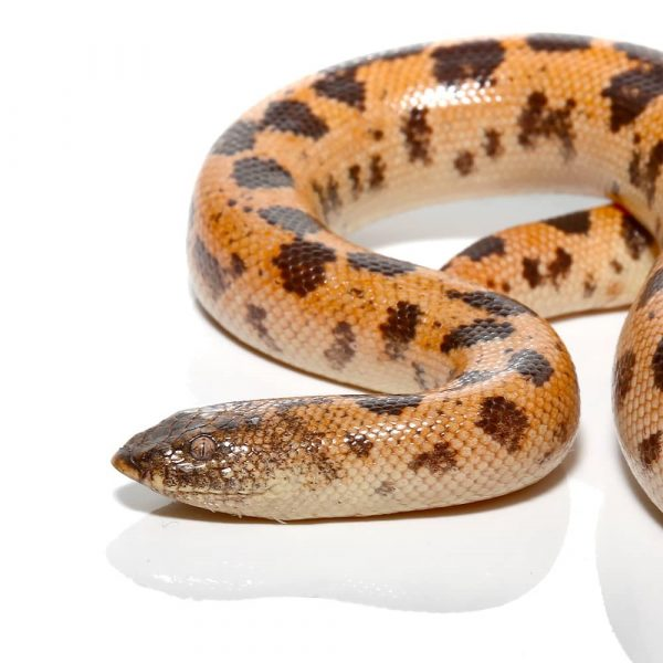 Adult High Gold Saharan Sand Boa