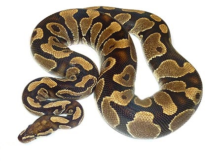 Adult Male Ball Python