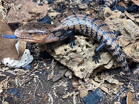 Baby Indonesian Blue Tongue Skink
