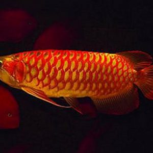 Buy Asian Red Arowana