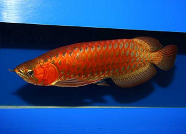 Buy Chili Red Arowana