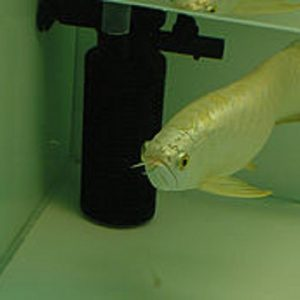 Buy Cross Back Arowana