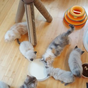 Buy Scottish Fold Kittens