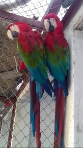 Buy Green Wing Macaw Parrots