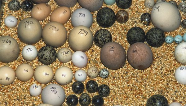 Buy Green Wing Macaw Eggs