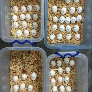 Hyacinth Macaw Eggs