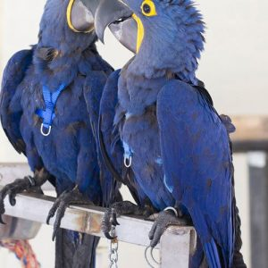 Buy Hyacinth Macaw Parrot