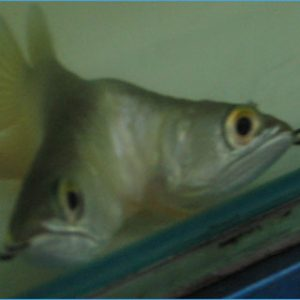Siamese (Double Headed) Arowana fish for sale