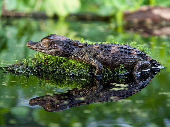 Smooth Fronted Caiman for Sale