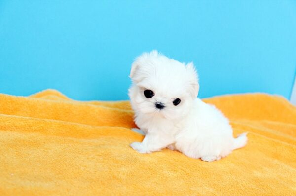 Baby Maltese for sale