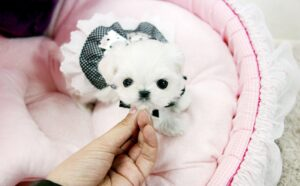 How much does it cost to get a maltese puppy
