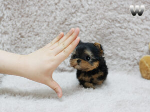 buy a yorkshire terrier puppy