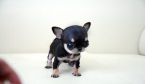 Cheap teacup chihuahua puppies for sale