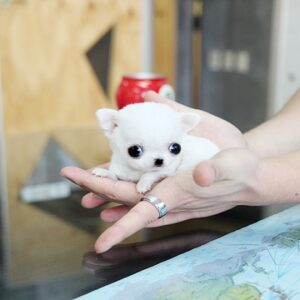 buy teacup chihuahua puppy