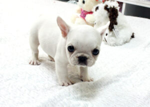 french bulldog puppies for sale near me