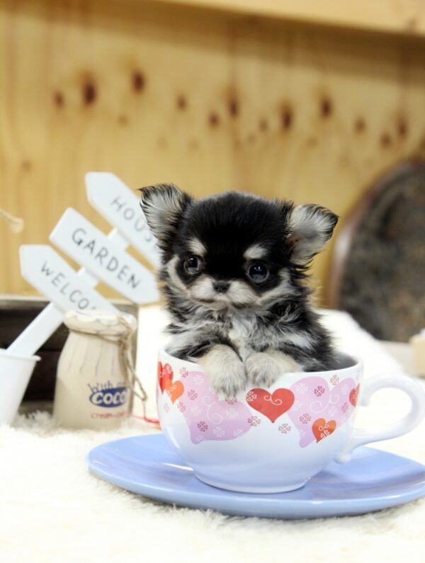 Purchase teacup chihuahua puppy