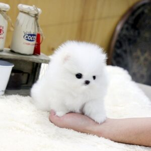 Buy cheap teacup puppies