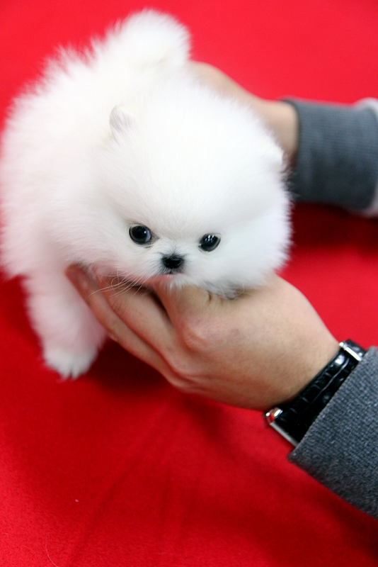 affordable teacup puppies for sale